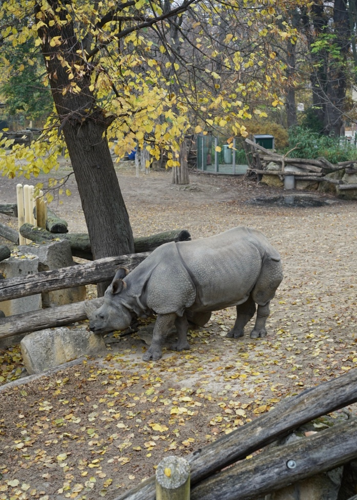 An Indian rhinocerous, a gift from the Kingdom of Nepal